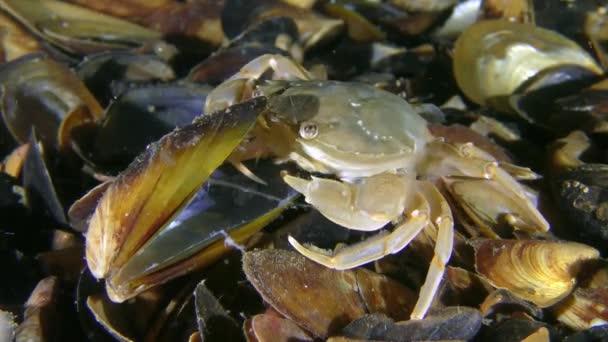 Schwimmkrabbe (Liocarcinus holsatus) frisst Fleischstücke aus einer Muschelschale.