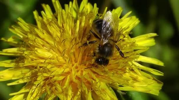Včelí pyl sbírá květ Pampeliška