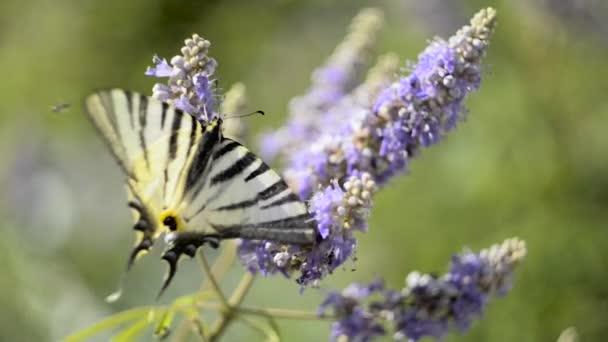 Beautiful swallowtail, Papilio machaon butterfly sucking nectar