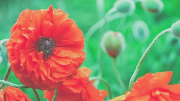 Big Decorative Red Poppy Flower In Spring Day Close Up 4k 3840 X