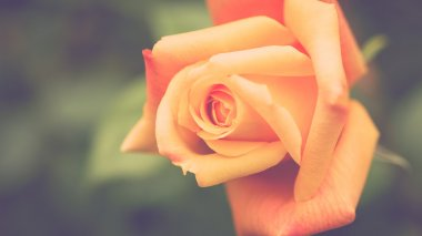 Beautiful natural yellow rose on morning light, deep green background