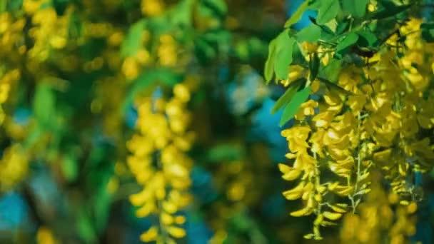Žlutý akát květ větev, vítr pohybuje visící květiny pod večerní slunce