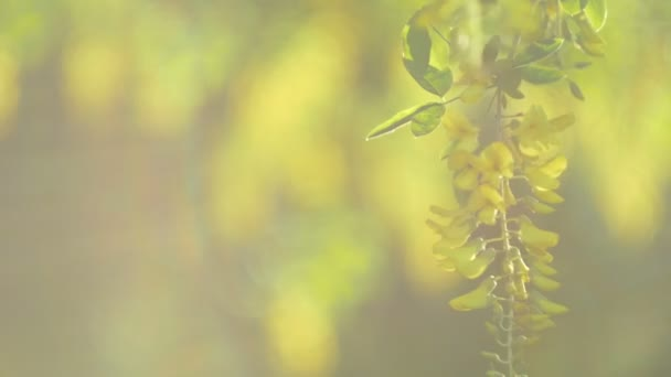 Žlutý akát květ větev, pohybující se od mírný vítr na večer v žluté sinlight světlice