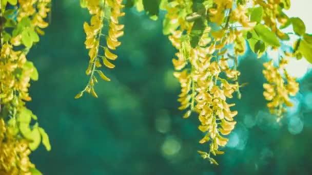 Žlutý akát květ větev, větrem pohybující visící květiny, večerní sluneční erupce, closeup, bokeh