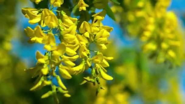 Closeup žlutý akát květ větve, vítr pohybuje visící květiny, večerní slunce