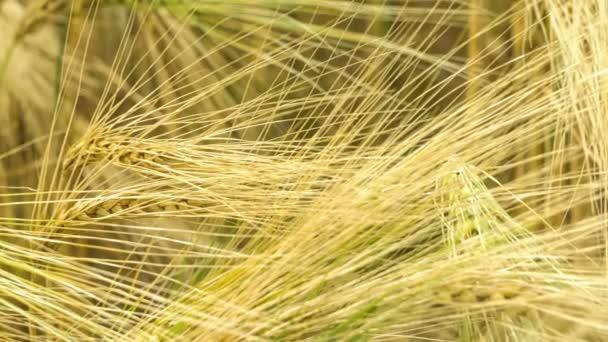 Arany búza fül a szél, közeli kiszáradnak, a meleg esti napfény