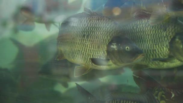 Élő hal úszás a szupermarket akváriumban