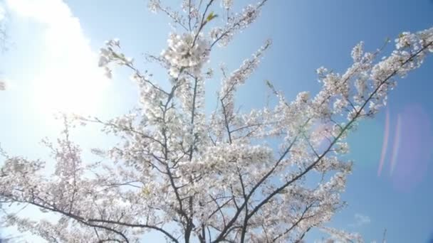 Under the cherry blossoms, slow motion, dolly in.