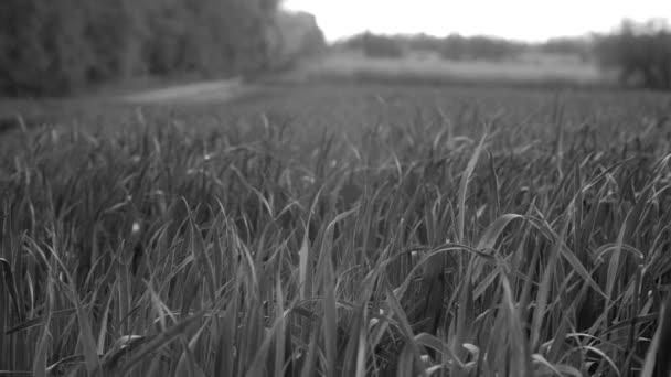 Parcelou mladé zelené pšenice ráno