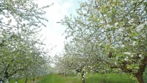 Kvetoucí jabloně s bílými květy na jaře