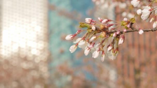 fehér cseresznyevirág a nap alatt.