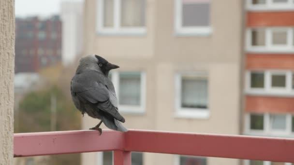 Jackdaw sitting on a railing.