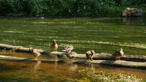 Wildenten auf einem alten Baumstamm über dem Wasser