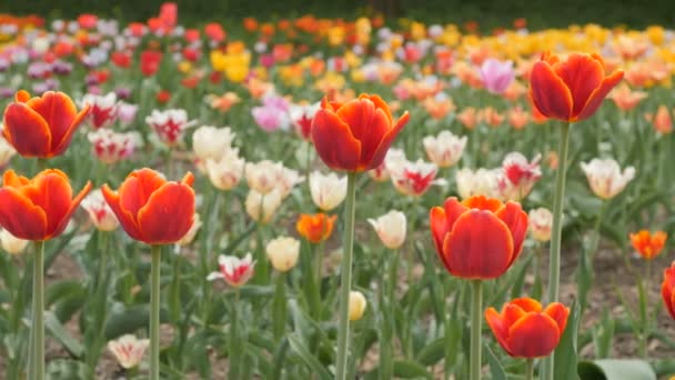 červené tulipány, kvetoucí closeup - dolly jezdec výstřel