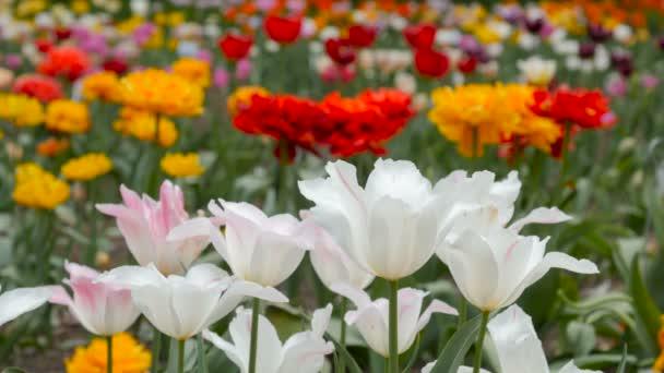Nové barevné tulipány v poli