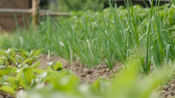 postel zelené cibule v zahradě