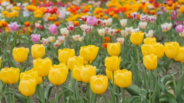 Více barevné tulipány v zahradě.