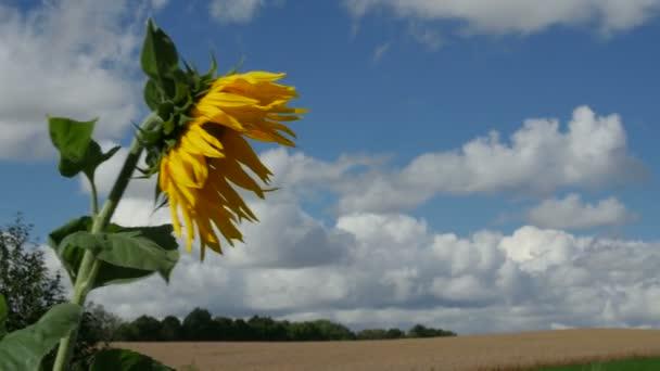 Egy mezőben, mezőgazdasági nyári napon egy napraforgó