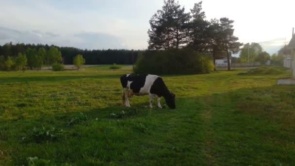 Kráva pasoucí se zelenou v zemi, zemědělství, zemědělství