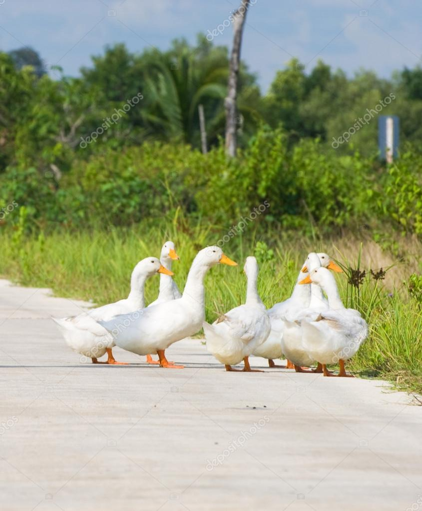 more photos d9265 c4103 Seven duck walking on the road at the countryside — Stock ...