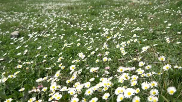 Field full of white flowers stock video tmbstudio1 107984992 field full of white flowers stock video mightylinksfo