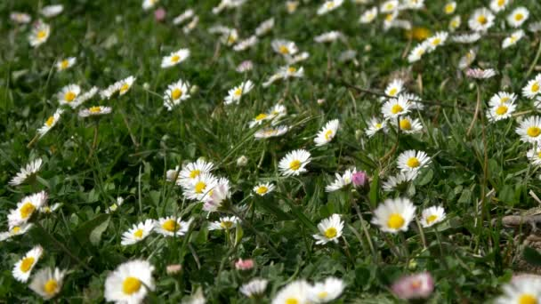 field full of white flowers