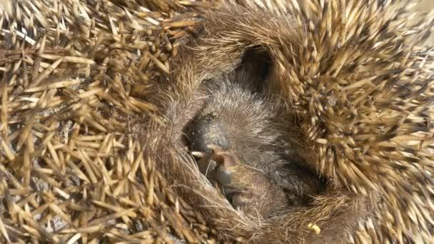 European Hedgehog sleeping