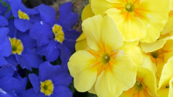 blooming blue and yellow flowers