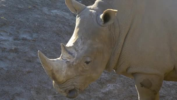 rhinoceros animal in zoo