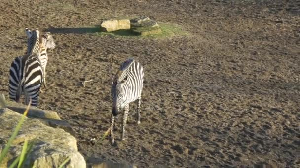 zebra animals group in zoo