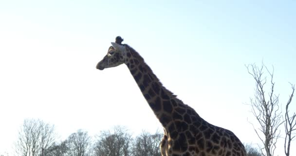 Giraffe in national park
