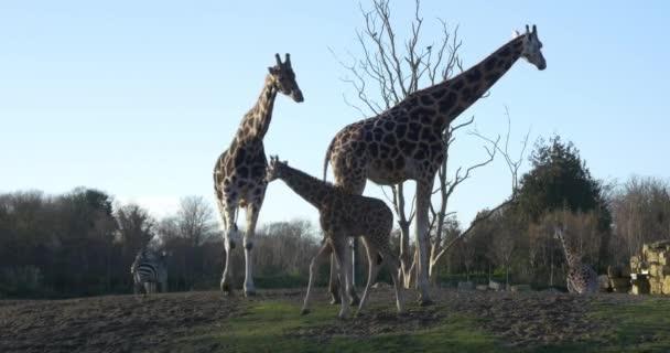 Giraffe nel Parco nazionale