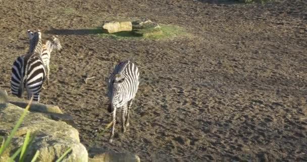 gruppo di animali di zebra in giardino zoologico