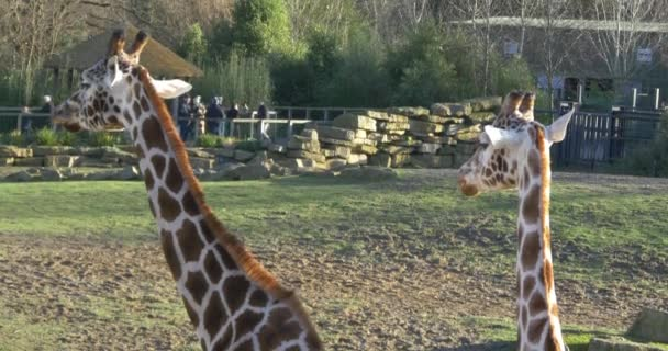 animali giraffa masticare foglie