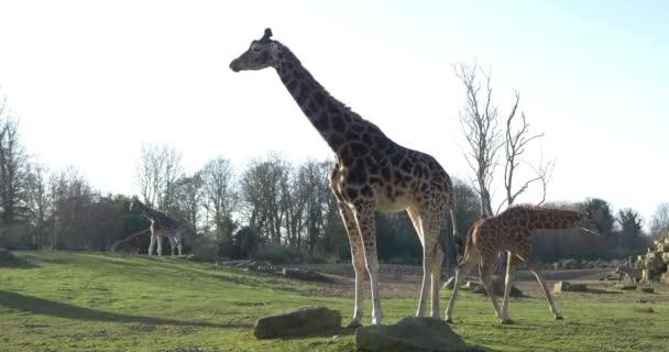 Giraffes in national park