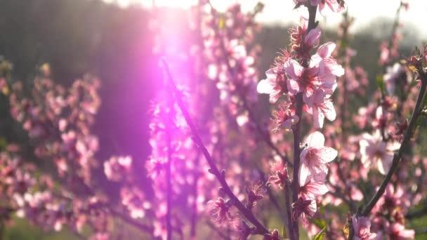 Růžové květy třešní