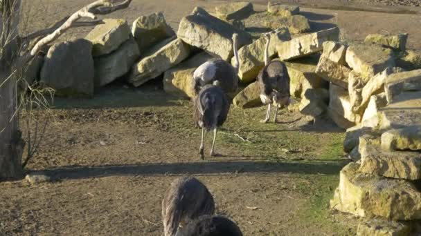 gruppo di struzzo uccelli in giardino zoologico