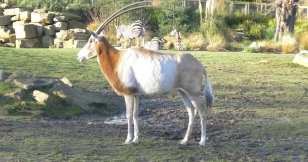 animal antelope in zoo