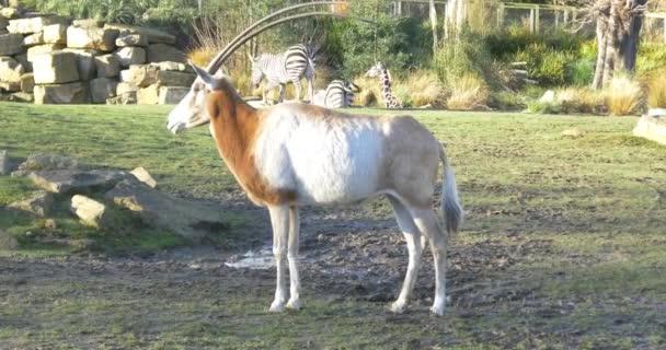 zvířecí antilopy v zoo