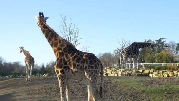 Žirafy v národním parku
