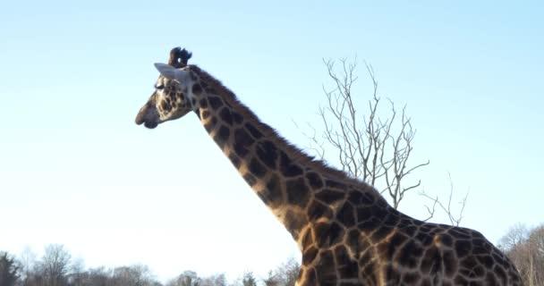 Žirafa v národním parku