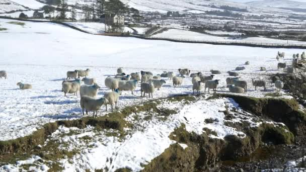 ovce jíst v oblastech sníh