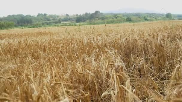 wheat field at autumn