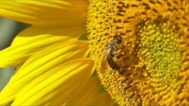 včela na kvetoucí slunečnice