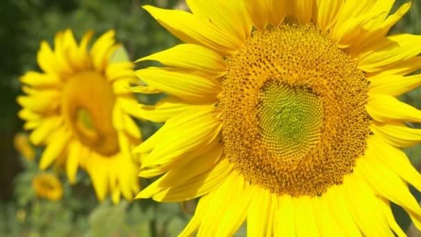 Slunečnice rostliny v oboru