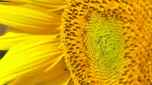 Slunečnice plantsin pole