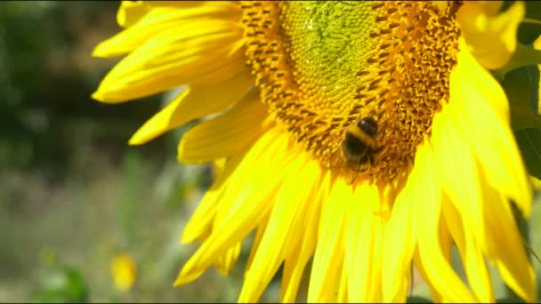 Bumblebee on blooming sunflower