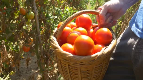 Ernte roter reifer Tomaten