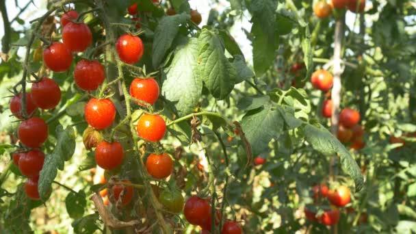 Bio červené zralá rajčata