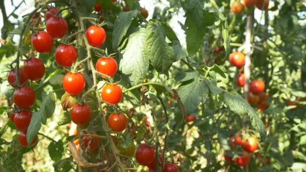 Rote Bio-Tomaten